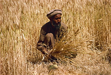 Cutting wheat with sickle and then stooking, Pakistan, Asia