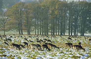 Deer in snow, Petworth, Sussex, England, United Kingdom, Europe