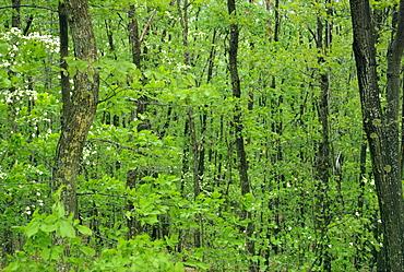 Decidous woodland, west Virginia, United States of America, North America