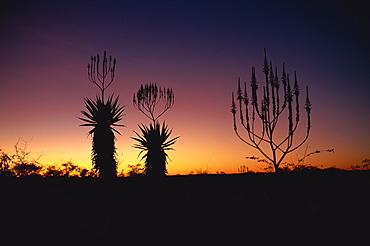 Aloe species in desert scrubland on the border of Botswana, Namibia, Africa