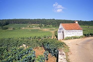 Vineyards on Route des Grands Crus, Nuits St. Georges, Dijon, Burgundy, France, Europe