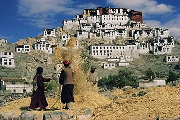 Harvesting below Thikse Gompa (Tikse Monastery), Ladakh, India, Asia