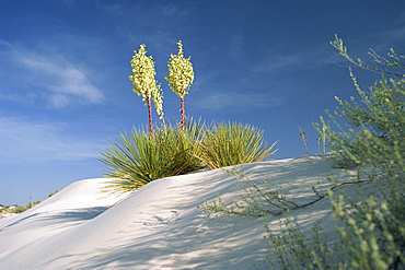 Yucca bloom in Gypsum dunes, White Sands National Monument, New Mexico, United States of America, North America