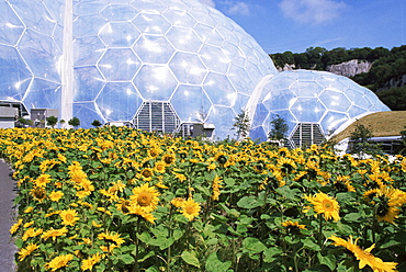 Sunflowers and the humid tropics biome, The Eden Project, near St. Austell, Cornwall, England, United Kingdom, Europe