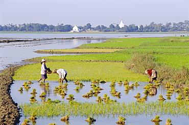 Rural scene, rice cultivation, Amarapura, Myanmar (Burma), Asia