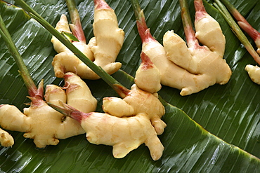 Ginger plant, used in cooking and medicine, used for stomach complaints, motion sickness, rheumatism, colds, flu, fevers and poor blood circulation