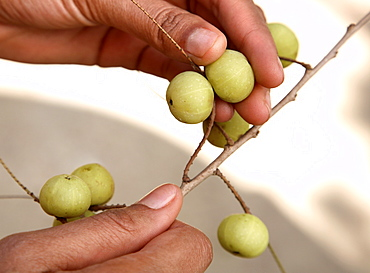 Indian gooseberry (Amla) (Embilca officionalis) an important Ayurveda fruit, used in the treatment of liver conditions, jaundice, anaemia, and diabetes, India, Asia