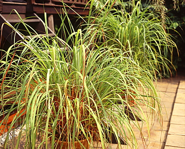 Lemongrass, used in cooking and for detoxifying the liver, kidney, bladder and digestive tract, reducing cholesterol, stimulating digestion and circulation, Southeast Asia, Asia