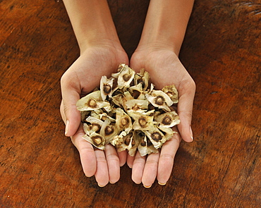 Pod seeds of Malunggay (Moringa oleifera Lam), a useful plant promoting good eyesight, digestion, and a cure for stomach ache