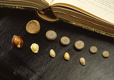 Cowrie shell money and terracota coins from Sri Vijaya period in Thailand, Southeast Asia, Asia