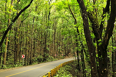 Mahogany forest, Bohol, Philippines, Southeast Asia, Asia