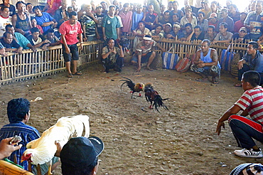 Cockfighting, Bali, Indonesia, Southeast Asia, Asia