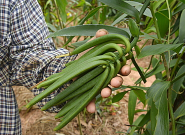 Vanilla plantation, Vietnam, Indochina, Southeast Asia, Asia
