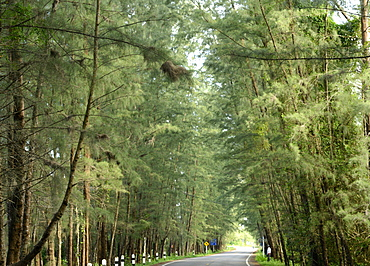 Avenue lined with casuarina tree, Si Kao, Trang, Thailand, Southeast Asia, Asia