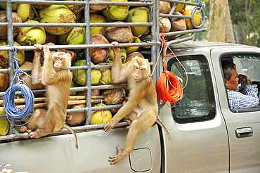 Macaque monkeys trained to collect coconuts in Ko Samui, Thailand, Southeast Asia, Asia