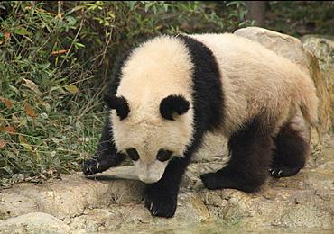 Giant Panda, Chengdu Panda Reserve, Sichuan, China, Asia