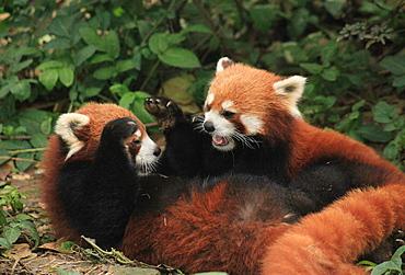 Red Panda, Chengdu Panda Reserve, Sichuan, China, Asia  - 238-6463