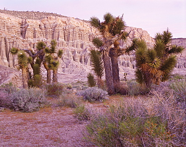 Joshua trees, Mojave yucca, just before dawn, Red Rock Canyon State Park, California, United States of America (USA), North America