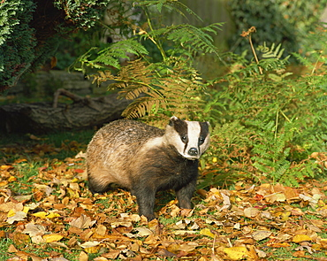 Badger (Meles Meles), United Kingdom, Europe