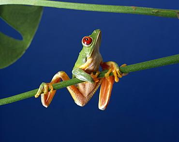 Red-eyed tree frog (Agalythnis callidryas), South America