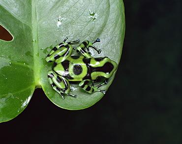Poison arrow tree frog (Dendrobates auratus)