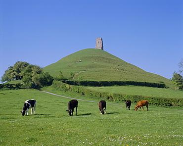 Cattle grazing in front of Glastonbury Tor, Glastonbury, Somerset, England, UK, Europe