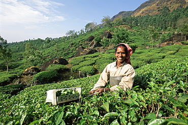 Portrait of a woman picking tea in a tea plantation, Munnar, Western Ghats, Kerala state, India, Asia