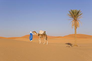 Camel, Erg Chebbi, Merzouga, Sahara Desert, Morocco, North Africa, Africa