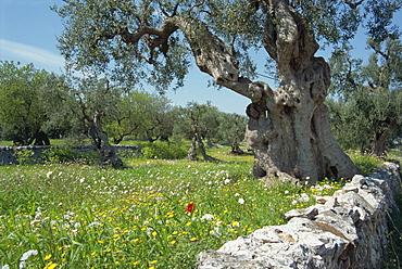 Olive trees, Puglia, Italy, Europe