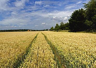 Crops growing in a field, United Kingdom, Europe