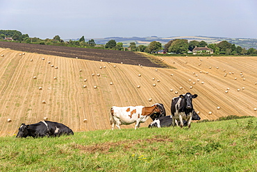 Cattle in field with farmland beyond, United Kingdom, Europe