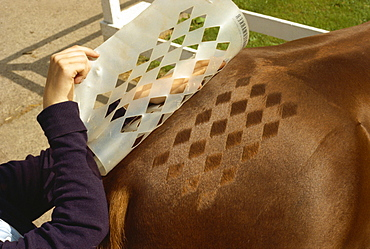 Hair decoration on horse, England, United Kingdom, Europe