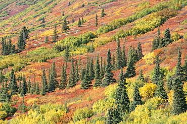 Fall colours in taiga, spruce, willow, dwarf birch and aspen, Susitna Valley, Alaska Range, Alaska, United States of America, North America