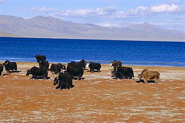 Yak herd on foreshore, sacred lake Manasarovar (Manasarowar), Kailas (Kailash) region, Tibet, China, Asia