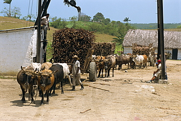 Ox carts haul stacked cane from fields for transfer to refinery, at a sugar plantation on the north coast plain of Pinar del Rio, Cuba, West Indies, Central America
