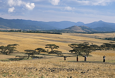 Acacia trees on high grasslands in front of Bale Mountains, Southern Highlands, Ethiopia, Africa