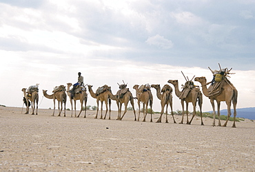Camel train led by Afar nomad in very hot and dry desert, Danakil Depression, Ethiopia, Africa