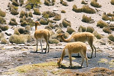 Vicunas grazing on moss at spring, Parque Nacional de Lauca, Chile, South America