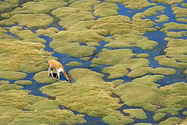 Vicuna grazing on moss at a spring, Parque Nacional de Lauca, Chile, South America