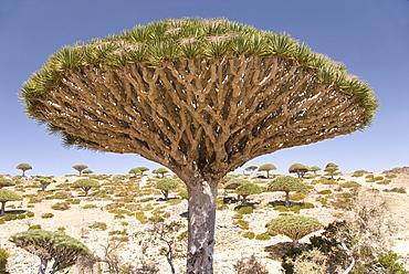 Dragon's Blood Tree (Dracaena cinnabari), endemic to island, Diksam Plateau, central Socotra Island, Yemen, Middle East