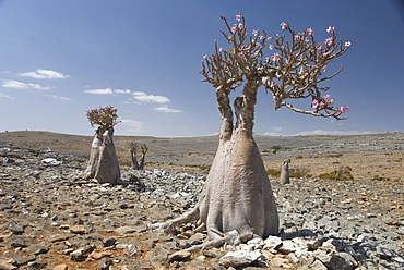 Bottle-tree (desert rose) (adenium obesum) endemic to island, Diksam Plateau, central Socotra Island, Yemen, Middle East