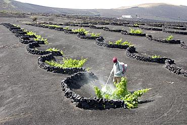 Vineyards of La Geria on volcanic ash of 1730s eruptions, Lanzarote, Canary Islands, Spain, Europe