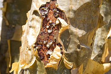 Frankincense, the resin seeping out into a cut in the tree's bark, Dhofar Mountains, Salalah, southern Oman, Middle East
