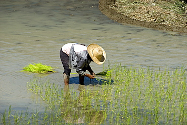 Transplanting rice on the mud-walled terraces, Banaue, Ifugao, Cordillera, Luzon, Philippines, Southeast Asia, Asia