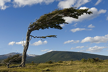 Tree distorted by winds of the Roaring Forties, Harberton, Ushuaia, Beagle Channel, Tierra del Fuego, Argentina, South America