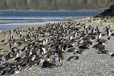 Magellanic penguins (Spheniscus magellanicus), Isla Martillo, Ushuaia, Beagle Channel, Tierra del Fuego, Argentina, South America