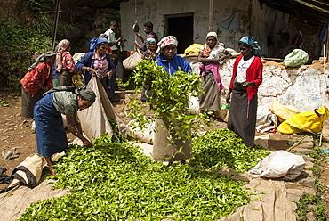 Tamil women pickers bringing in tea harvest, above Ambewela, Hill Country, Sri Lanka, Asia