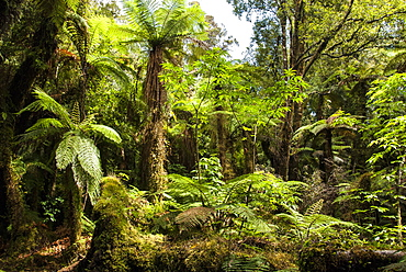 Tree ferns in Glow Worm Dell (Miniehaha), Fox Glacier village, Westland, South Island, New Zealand, Pacific