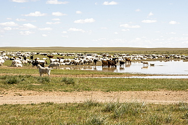 Nomadic herders' flock of sheep and goats on Steppes grasslands of Mongolia, Asia