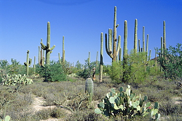 Saguaro organ pipe cactus and prickly pear cactus, Saguaro National Monument, Tucson, Arizona, USA, North America